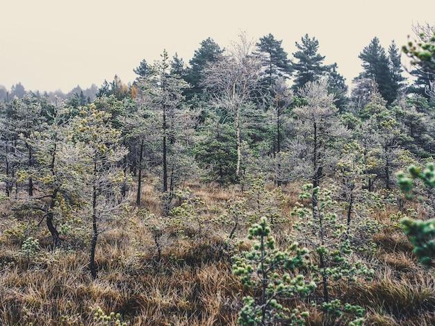 Alberi di pino nel campo della palude di kemeri in una fredda mattina d'inverno con il gelo su di loro