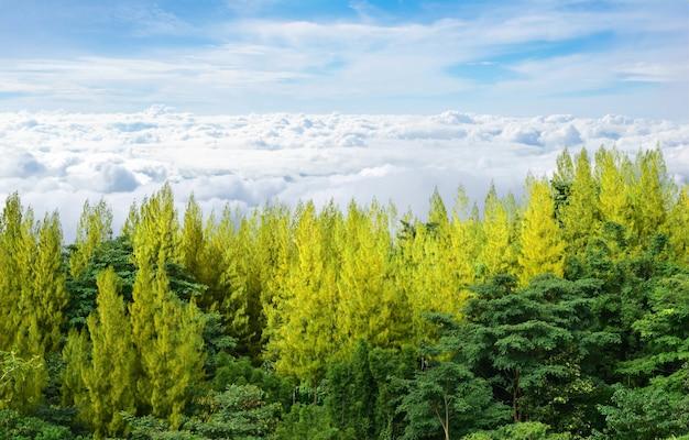 Pini isolati sulla natura della nebbia e il cielo luminoso