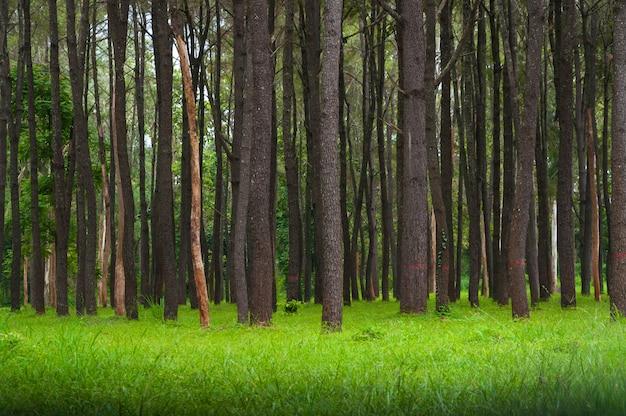 Alberi di pino, alti tronchi verdi, bellissimi alberi di pino ed erba verde per lo sfondo della natura