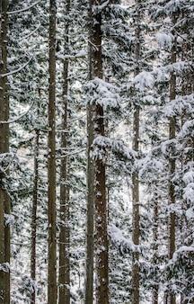 Alberi di pino nella foresta invernale. frammento di foresta. giappone. nagano. parco delle scimmie di jigokudani.