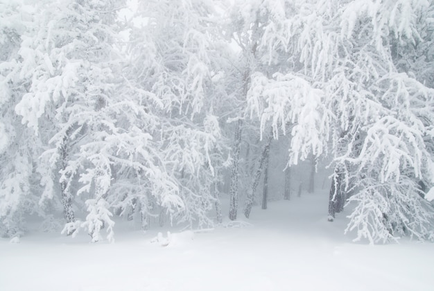 Pini nella neve di inverno a nebbia