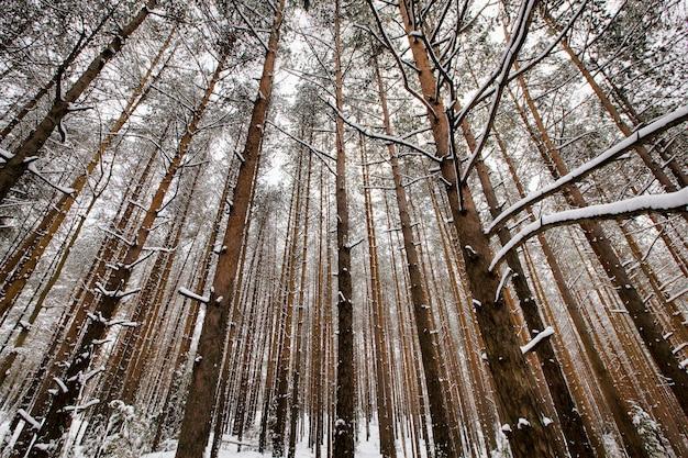 Alberi di pino in inverno