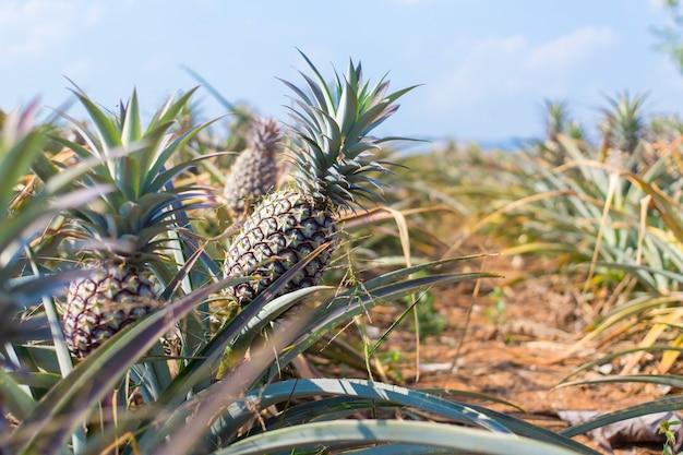 L'ananas è una pianta tropicale con un frutto commestibile la polpa è di colore giallo e sapore dolce