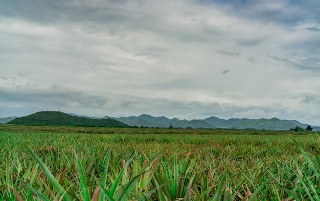 Piantagione di ananas fattoria e montagna dell'ananas del paesaggio. coltivazione di piante. coltivazione di ananas in fattoria biologica. settore agricolo.