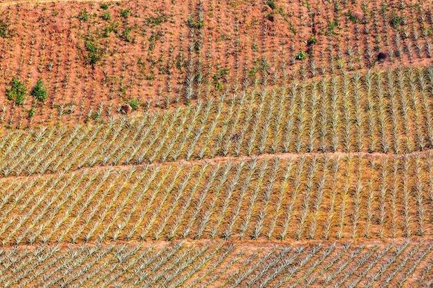 Piantagione di ananas nel nord della thailandia