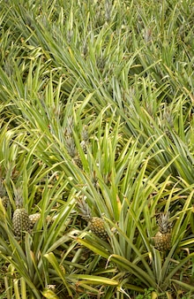 Piantagione di ananas a santa rita, paraiba, brasile. agricoltura brasiliana.