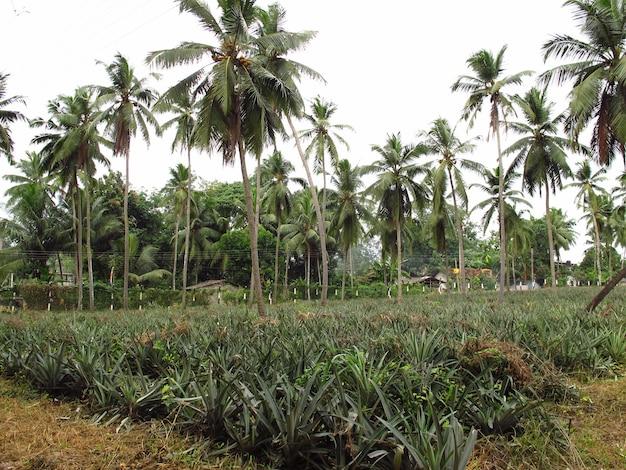 La piantagione di ananas nel villaggio, sri lanka