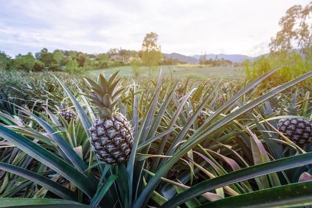 Frutto tropicale dell'ananas che cresce nel giardino con la montagna