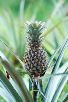 Frutticoltura tropicale dell'ananas nello sri lanka