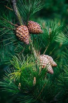 Gli ananas con le foglie del pino si chiudono su