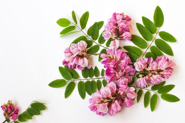 Acacia rosa su sfondo bianco. carta