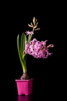 Bello fiore rosa del giacinto con una lampadina in un vaso rosa