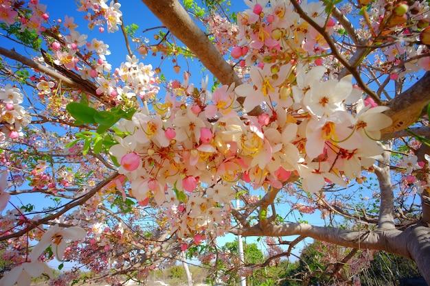 Il bel fiore tropicale rosa ha chiamato cassia javanica o fiore rosa della doccia
