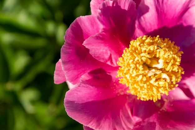 Fiori di fioritura rosa della peonia nel giardino