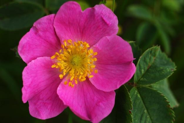 Fiore rosa dei fianchi si chiuda