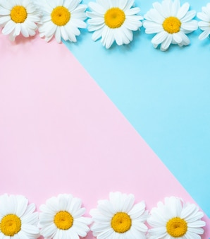 Sfondo rosa e blu con cornice di camomille. primavera, concetto estivo. piatto disteso con spazio di copia. parole chiave lingua: inglese