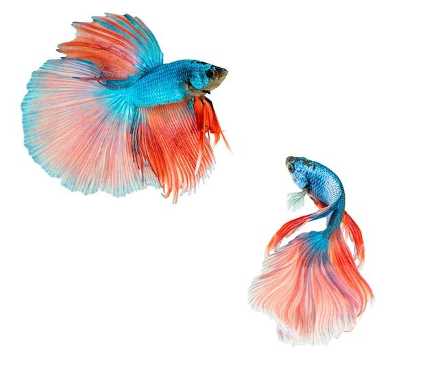 Rosa e blu mezza luna betta splendens o pesce combattente siamese isolato su priorità bassa bianca.