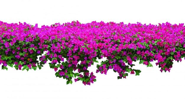 Fiore rosa della buganvillea su fondo bianco