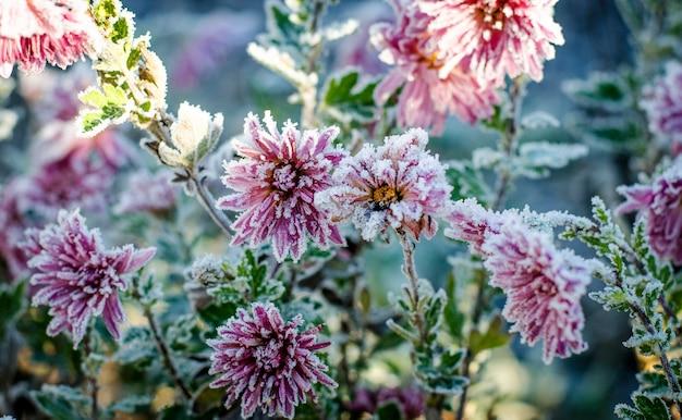 I crisantemi rosa e bordeaux nel giardino sono ricoperti di brina