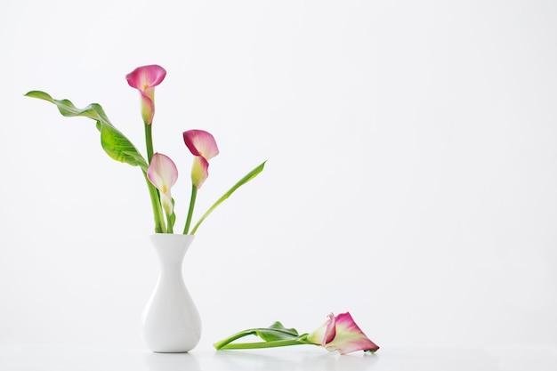 Giglio di calla rosa in vaso su bianco