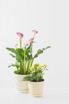 Giglio di calla rosa e kalanchoe giallo in vaso di fiori su superficie bianca