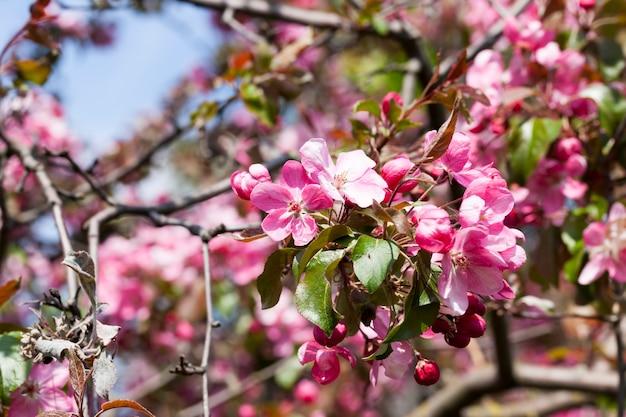 Fiori di ciliegio rosa in primavera, bellissimi fiori su un albero da frutto, sakura in primo piano primaverile