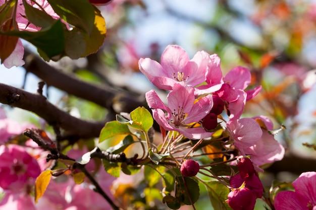 Fiori di ciliegio rosa in primavera