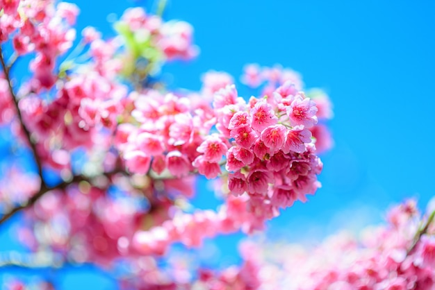 Cherry blossom rosa o fiore di sakura che fiorisce in cielo blu
