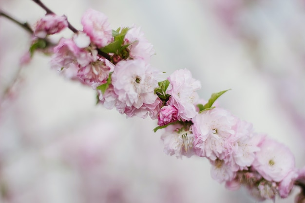 Fiore di ciliegio rosa o sakura fiore in primavera.