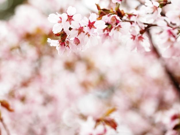 I fiori di ciliegio rosa in giardino all'aperto si chiudono. tonificante rosa, soft focus