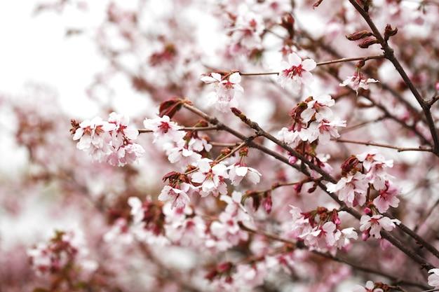 Rosa fiori di ciliegio in giardino all'aperto si chiudono.