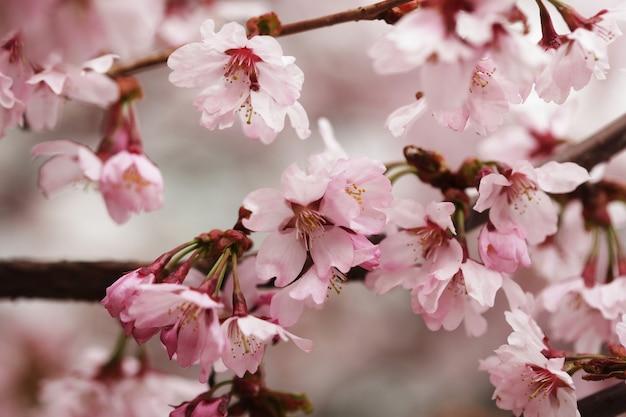 Rosa fiori di ciliegio in giardino all'aperto
