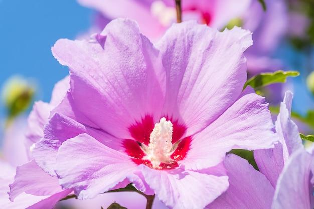 Fiore rosa della rosa cinese in un giardino.