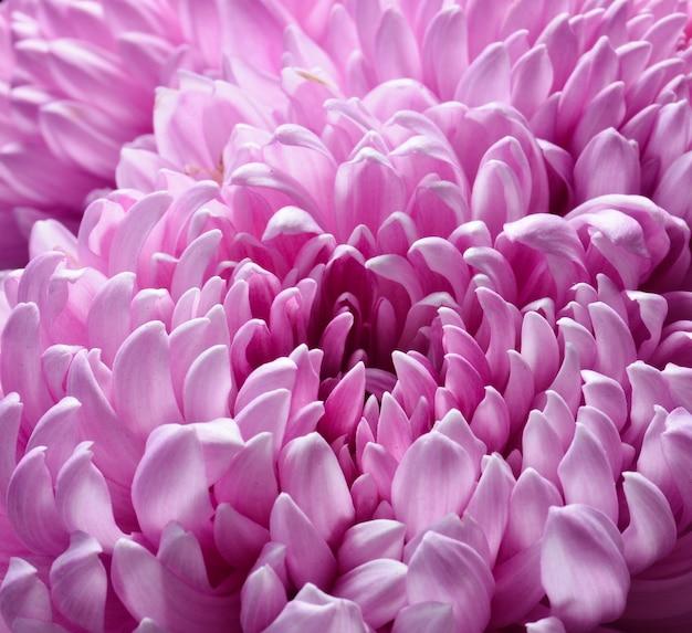 Primo piano rosa del crisantemo. foto a macroistruzione