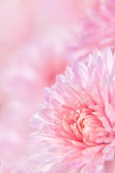 Fiore di crisantemo rosa con gocce di rugiada su petali delicati