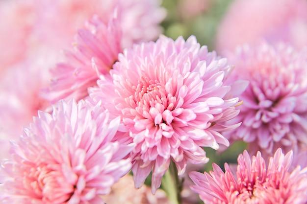 Fiore rosa del crisantemo con le gocce di rugiada nel giardino