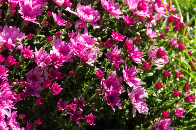 Crisantemi rosa su aiuola in giardino in autunno