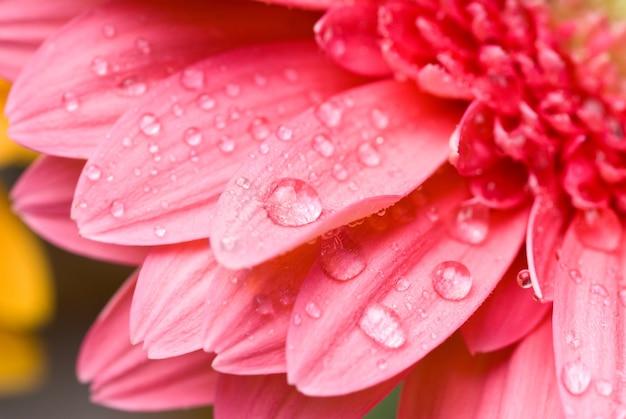 Margherita-gerbera rosa con gocce d'acqua isolate su bianco