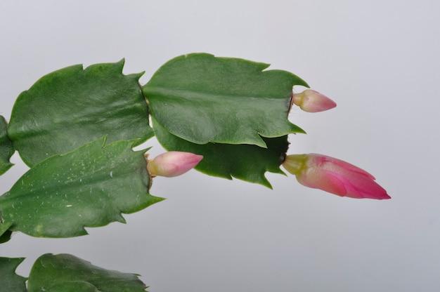Epiphyllum rosa su sfondo bianco