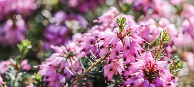 Rosa erica carnea fiori (inverno heath) nel giardino all'inizio della primavera. sfondo floreale, concetto botanico