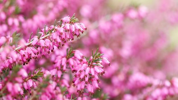 L'erica rosa carnea fiorisce la brughiera invernale nel giardino all'inizio della primavera