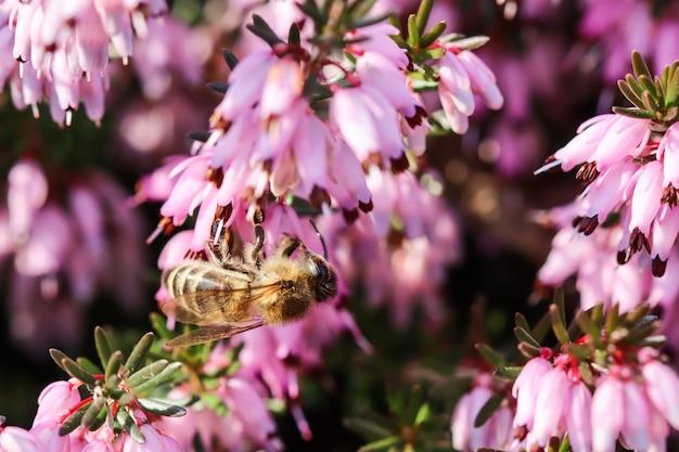 Rosa erica carnea fiori colpo d'inverno e un'ape di lavoro in un giardino di primavera