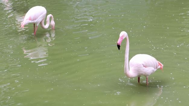 Il fenicottero rosa è un genere di uccelli della famiglia di una squadra fiammeggiante di fenicotteri su un lago o uno stagno.