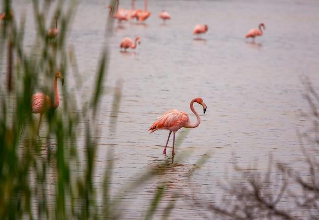 Fenicottero rosa in laguna, messico