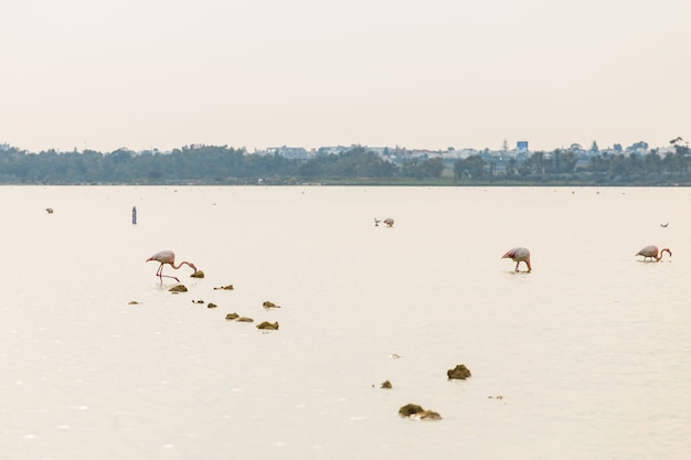 Fenicottero rosa sul lago