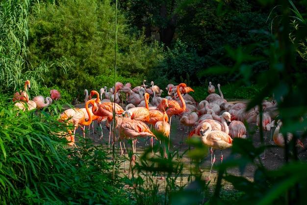 Primo piano rosa dei fenicotteri che sta intorno agli alberi e ai cespugli verdi in fauna selvatica