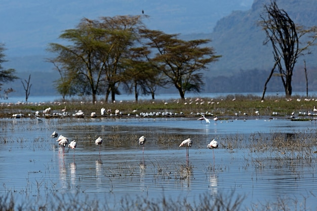 Fenicotteri rosa nell'habitat naturale. kenya. lake nakuru.