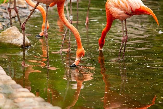 I fenicotteri rosa stanno e si riflettono nell'acqua limpida