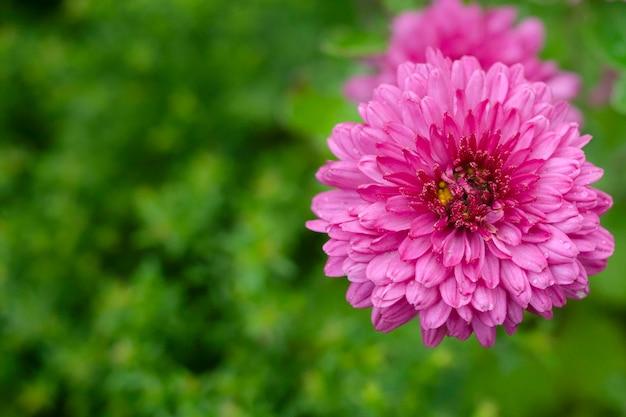 Fiore rosa del crisantemo autunnale su uno sfondo sfocato verde yak. copia spazio.