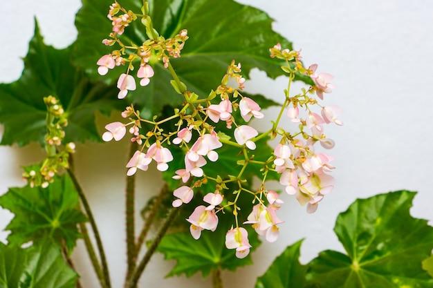 Fiori rosa di begonie su foglie verdi. piante d'appartamento in crescita